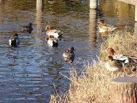 打上川治水緑地 水辺広場 水鳥