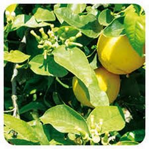 Bergamotier, huile essentielle digestive, laxative...