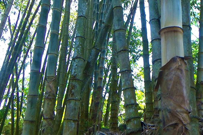Dlium Giant bamboo (Dendrocalamus asper)