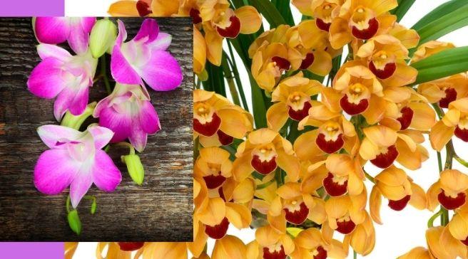 Cymbidium Orchids  grow outdoors