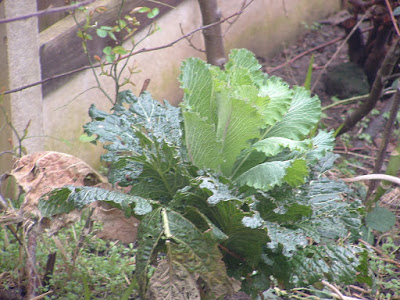 Photo of a ragged Savoy cabbage head in a garden bed