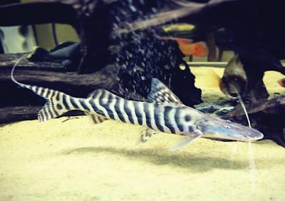 Habitat & Karakteristik Tigrinus Catfish