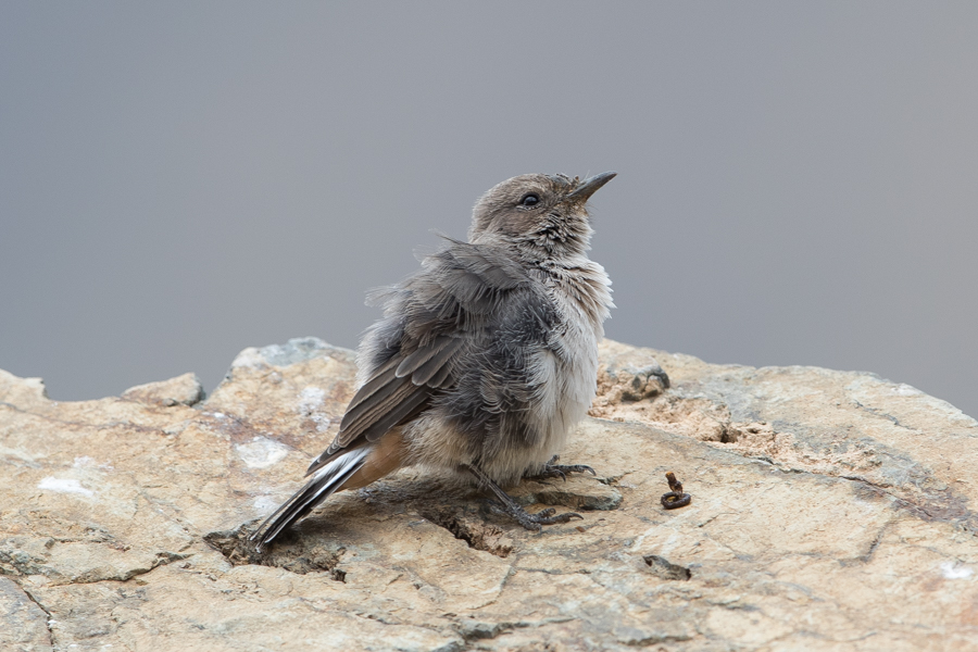 Arabian Wheatear - female