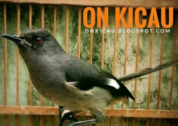 Cara Merawat Burung Murai Air Agar Jinak Dan Rajin Bunyi On Kicau