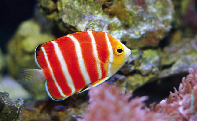 Manfish permen