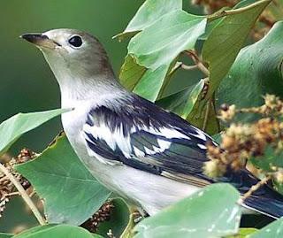 Suara burung jalak kapas