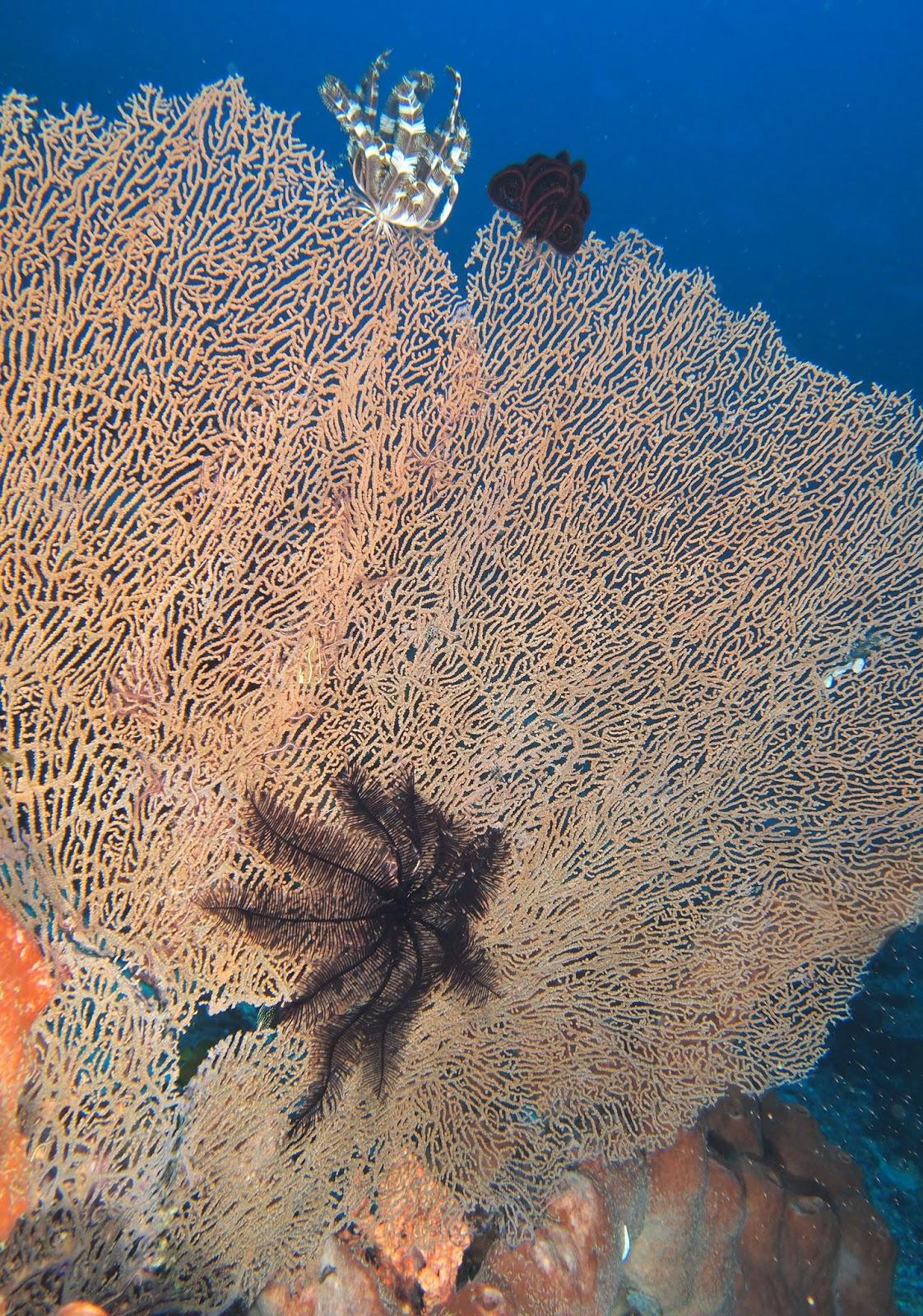 Морские лилии на Горгонарии фото