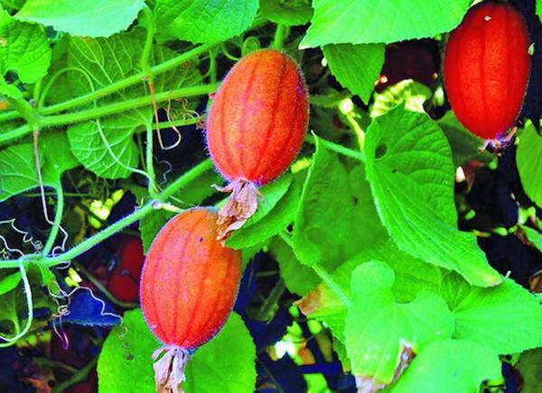 Необычные и удивительные овощи и фрукты, Красные огурцы