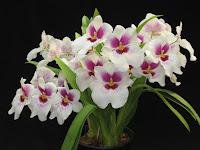 Orquídeas são  uma das maiores famílias de plantas existentes. Apresentam muitíssimas e variadas formas, cores e tamanhos e existem em todos os continentes, exceto na Antártida, predominando nas áreas tropicais.
