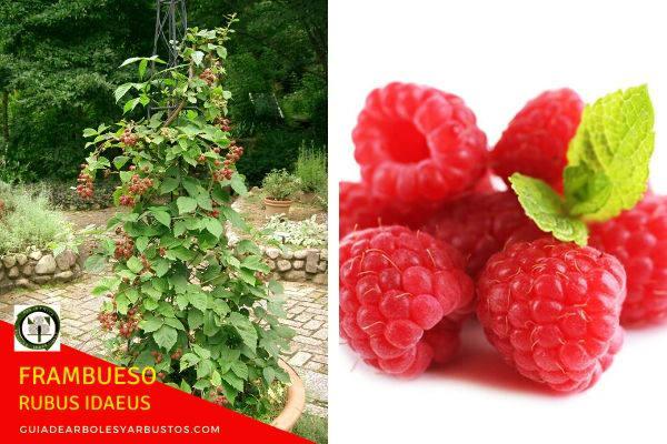 El Frambueso, Rubus idaeus, es arbusto fácil de distinguir de la Zarzamora común porque es más débil en todas sus partes.