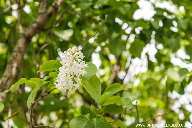 White lilac flowers | On The Creek Blog
