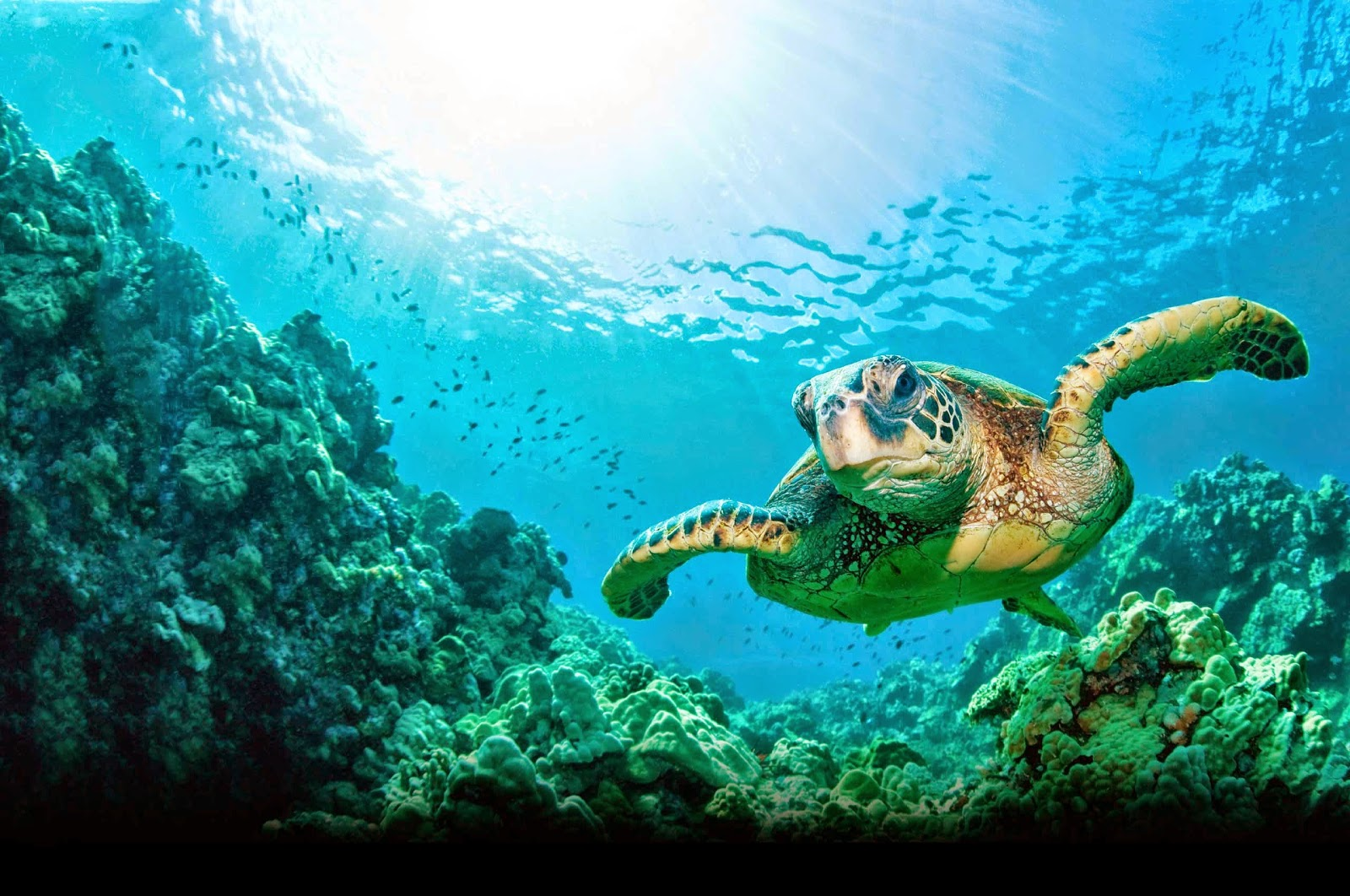 Sea Turtle - HD Wallpapers   Earth Blog