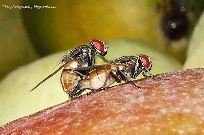 House Flies Mating