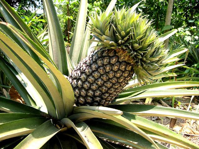 http://1.bp.blogspot.com/-I2REKNivFw8/U1Y8K1C65FI/AAAAAAAAYKE/JEnWEqmJaJE/s1600/Pineapple-plant.jpg