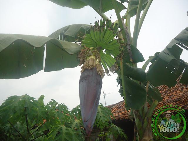 Tanaman pisang di kebun belakang rumah admin