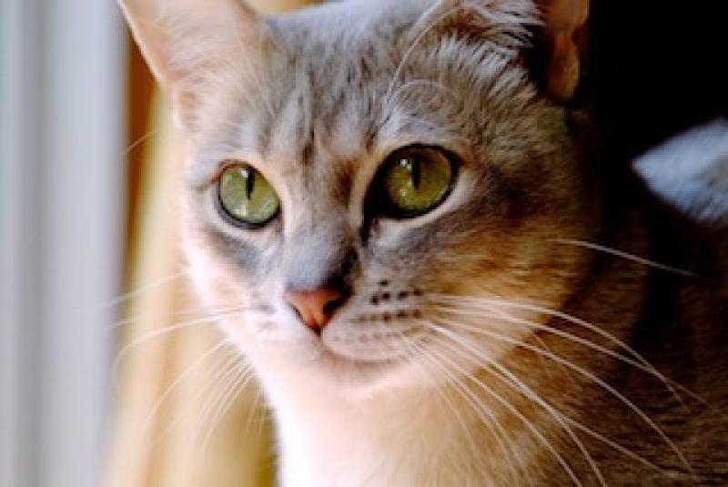 Australian-mist-cat-healthiana