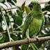 Papagaio some por 4 anos e volta para casa falando espanhol