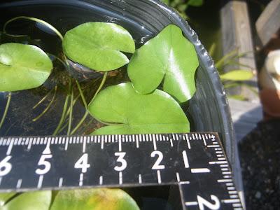 熱帯スイレン 葉
