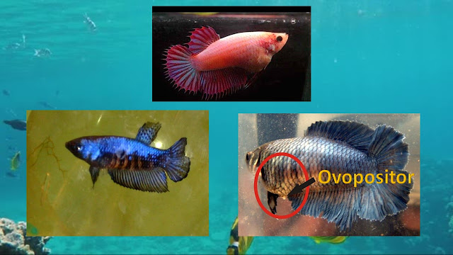 betta hembra ovopositor y rayas verticales