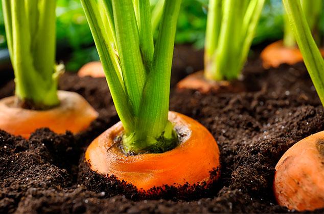 planta de zanahoria en maceta