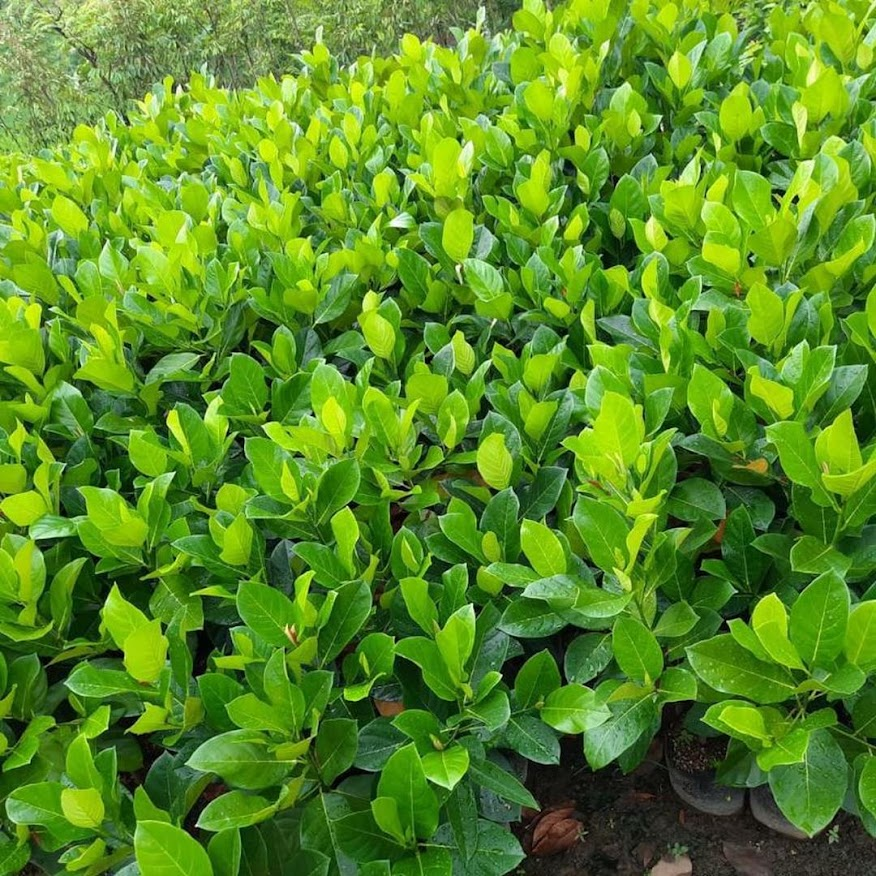bibit nangka cempedak bibit buah nangkadak okulasi cepat berbuah Mataram