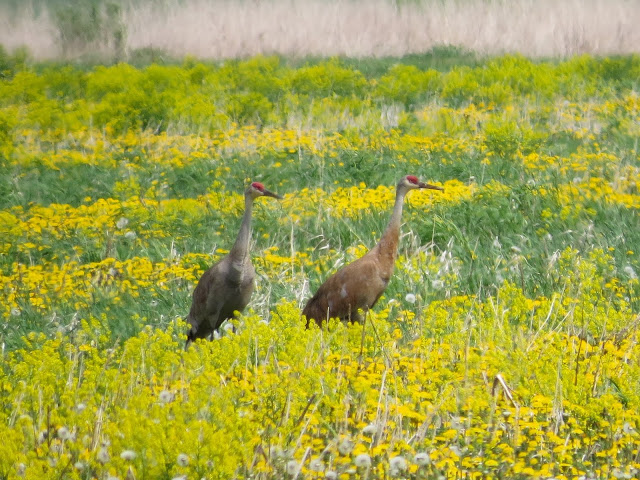 Sandhill Crane (Lesser) - Fibre, Michigan, USA