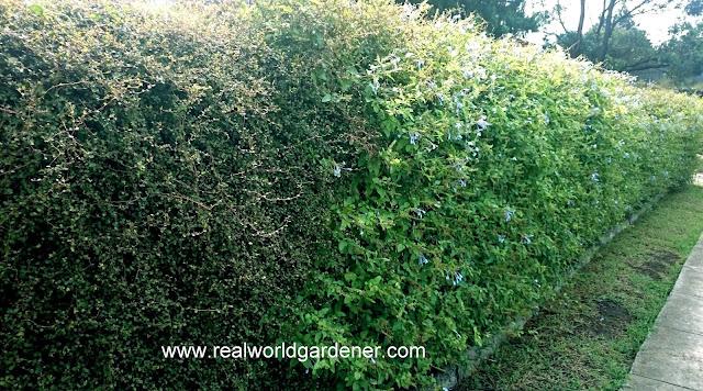1-Muehlenbeckia-hedge.jpg