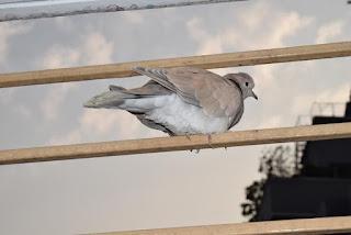 European ring neck dove