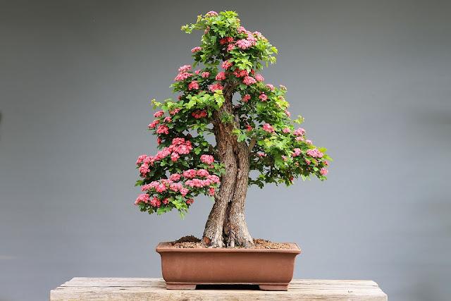 bonsai-fiori-rosa
