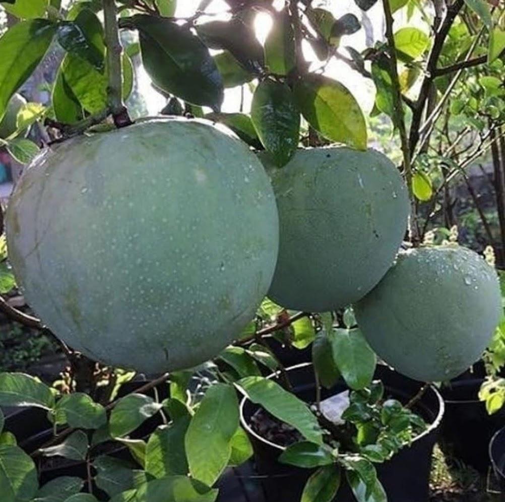 Bibit Mangga Kelapa Jumbo Tanaman Mangga kelapa Super Besar Bisa Berbuah Dalam Pot Bekasi