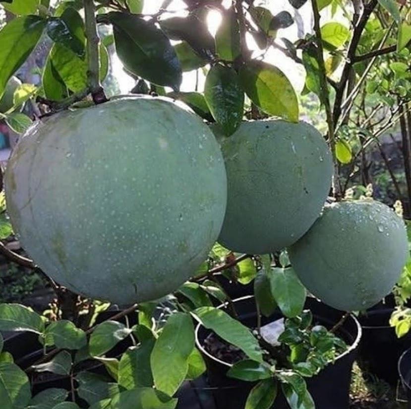 Bibit Mangga Kelapa Jumbo Tanaman Mangga kelapa Super Besar Bisa Berbuah Dalam Pot Depok