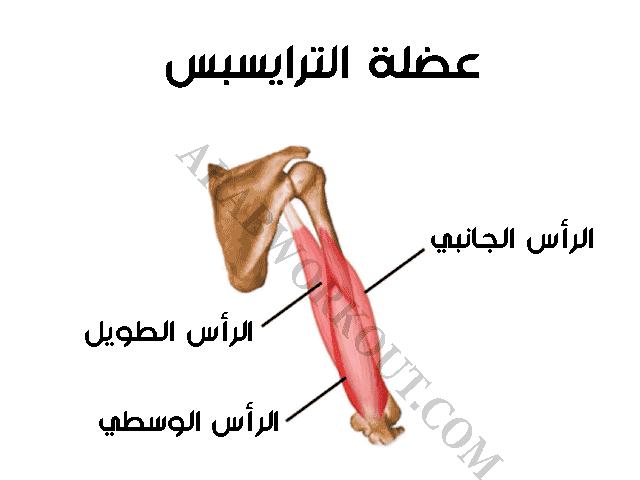 عضلة الترايسبس