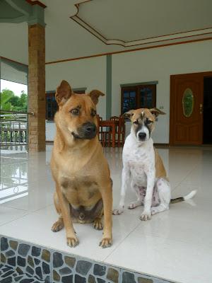 Thailändischer Strassenhund