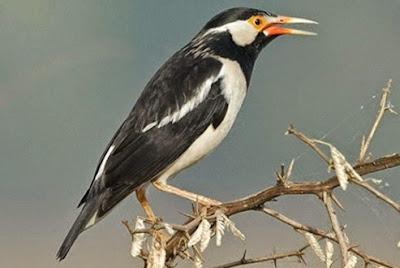 Mengetahui Perbedaan Akurat Burung Jalak Suren Jawa Dan Sumatera Paling Lengkap