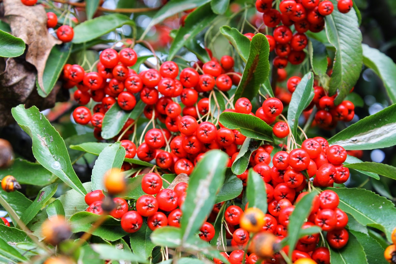 JibberJabberUK: Winter berries