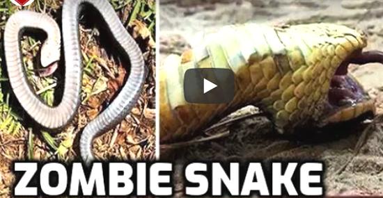 Cobras Zumbis dos EUA surpreendem o mundo se fingindo de mortas - Capa