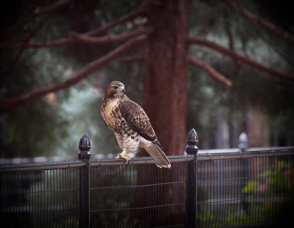 Tompkins Square red-tail fledgling 21