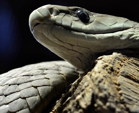 Black mamba snake venom is deadly but valuable for medicine