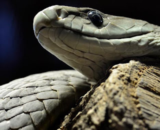 Black mamba snake venom is deadly but valuable for medicine