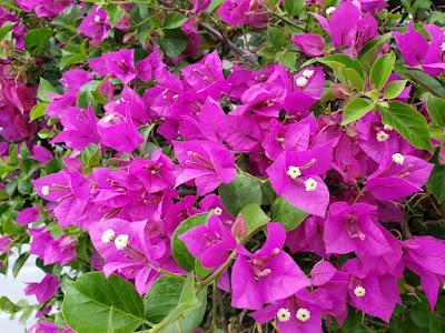 cluster of bouganvillea flowers