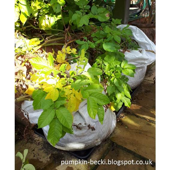 Potato Red Duke of York grow bags