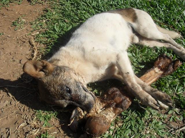 Envenenamento de Animais nas ruas da cidade deixa População Amparense em alerta