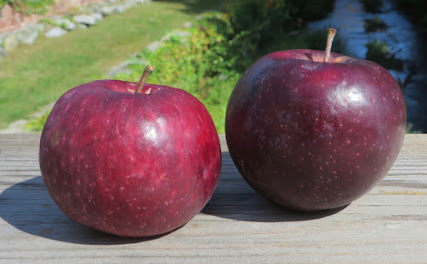 Two apples, one at right very dark, the other also dark but streaky.