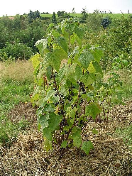 How To Prune Blackcurrants The Garden Of Eaden