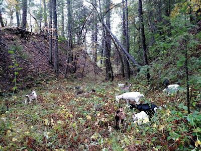 Goats remove invasive blackberry, before