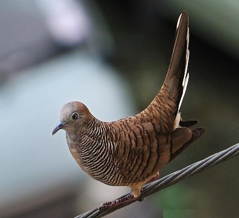 suara burung untuk memikat semua jenis burung
