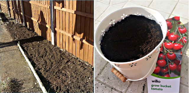 The dug up garden and tomato seeds being planted