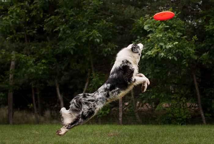 Dog Catches Frisbee