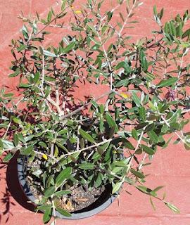 Olivo-Olea-europaea-plantas-y-arboles-del-bosque-comestible-mediterraneo