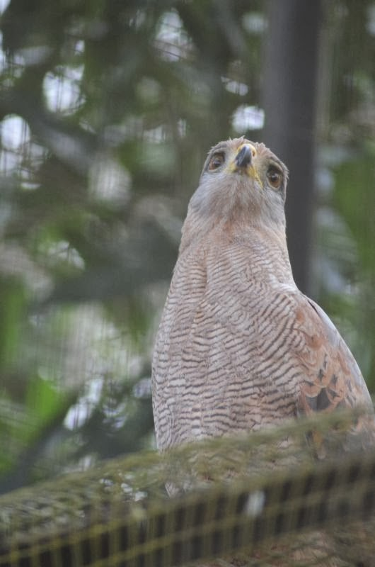 harpie féroce oiseau